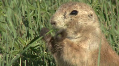 P00153 Closeup of Black-tailed Prairie Dog Stock Footage
