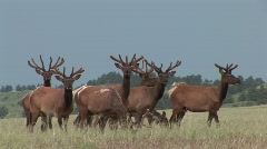 P00157 Herd of Elk Bulls in Summer Stock Footage