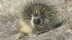 P00164 North American Porcupine Stock Footage