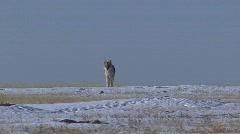 P00176 Coyote in Winter Stock Footage