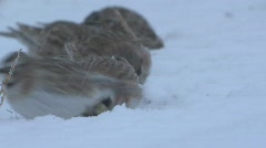 P00180 Horned Larks Feeding in Blizzard Stock Footage