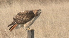 P00182 Red-tailed Hawk on Fence Post Stock Footage