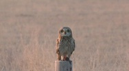 Stock Video Footage of P00190 Short-eared Owl Eating Vole