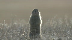 P00192 Black-tailed Prairie Dog Backlighting Stock Footage