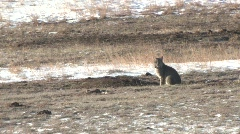 P00194 Bobcat Hunting Prairie Dogs Stock Footage