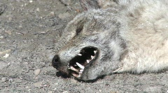 P00196 Dead Coyote on Prairie - stock footage