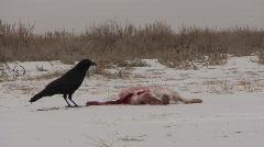 P00197 Crow and Dead Jackrabbit Stock Footage