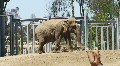 Elephant Walking in Zoo HD Footage