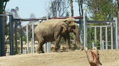 Elephant Walking in Zoo HD Stock Footage