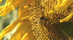 Tight shot of honey bee gathering nectar on large sunflower against blue sky Stock Footage