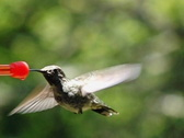 High Speed Camera : Hummingbird 12 Loop 210fps Stock Footage