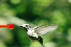High Speed Camera : Hummingbird 13 Fly away 210fps Stock Footage