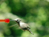 Stock Video Footage of High Speed Camera : Hummingbird 14 Loop