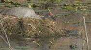 Sandhill Crane on Nest Clip 3 Stock Footage