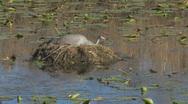 Sandhill Crane on Nest Clip 2 Stock Footage