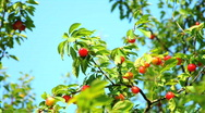 Plums and plum tree Stock Footage