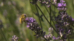 Bee0034 Lavender slomo Stock Footage