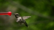 Hummingbird 3 Fly away Slow motion 1/10 speed Stock Footage