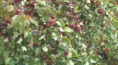 Tight shot of laden branches holding ripe apples. Zoom in, pan, rack focus. Stock Footage