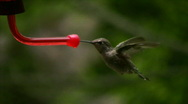 Hummingbird 5 Fly in & out Loop Stock Footage
