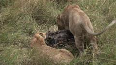 Lion wt food 5 Stock Footage