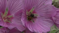 Bee on Lavatera flower 1 Stock Footage
