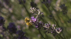Bee0034 Lavender realtime Stock Footage