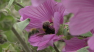 Stock Video Footage of Bees on Lavatera flower 3