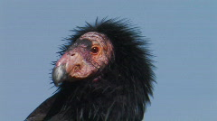 California Condor 1 Stock Footage