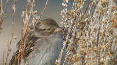Brewer's Sparrow 2 - stock footage