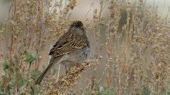 Brewer's Sparrow 1 Stock Footage