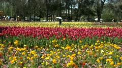 Tulip field - stock footage