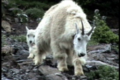 Mountain Goat Mother and Baby 2a - stock footage