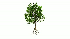 Growing Tree (Color Version) Stock Footage