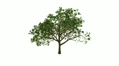 Growing Tree (Color Version) - stock footage