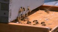 Honey Bees 8 Stock Footage