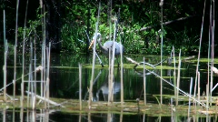 Blue Heron catching a fish Stock Footage