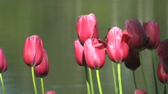 Pink tulips near the lake 2 - stock footage