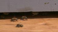 Honey Bees 4 Stock Footage