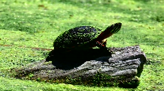 Eastern Painted Turtle yawning Stock Footage