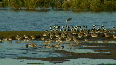 Wader Birds - Mangroves Waterbirds, Stilts  Stock Footage