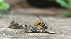 A wasp eating a dead moth Stock Footage