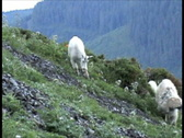 Mountain Goats Grazing 5a Stock Footage