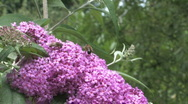 Stock Video Footage of Buddleja davidii flower with a bee