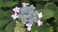 Stock Video Footage of Pink with blue Hortensia