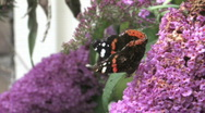 Stock Video Footage of Buddleja davidii flower with a butterfly