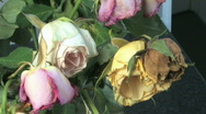 Stock Video Footage of Wilted dutch tulips
