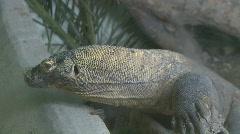 Komodo dragon - stock footage