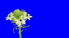 Time-lapse of opening white african lily 2ck blue chroma key Stock Footage