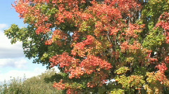 Red and yellow leaves fluttering in the breeze on a bright autumn day Stock Footage